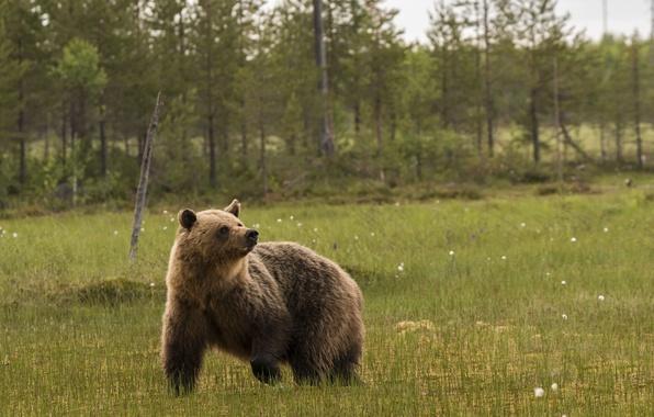 Картинка лес, деревья, болото, медведь