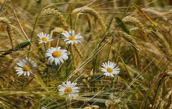 Картинка пшеница, поле, лето, цветы, ромашки, колоски