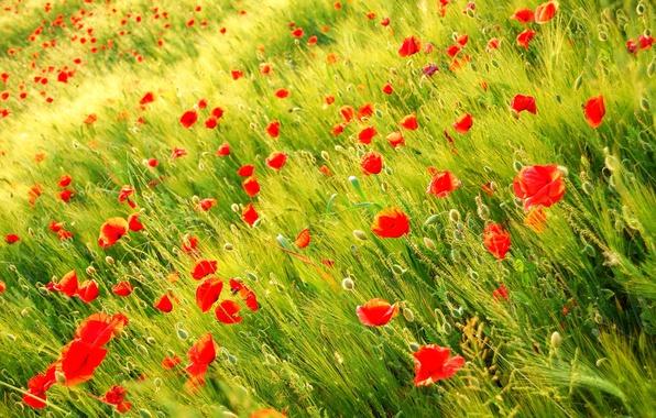 Картинка поле, природа, растения, Маки, красные, Wild poppy