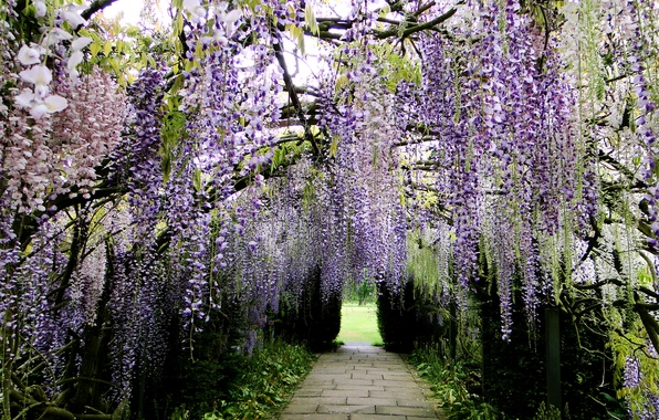 Картинка парк, Япония, дорожка, аллея, Глициния, Вистерия, Kawachi Fuji Garden