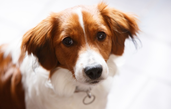 Картинка животные, собаки, глаза, морда, фон, widescreen, обои, собака, wallpaper, ошейник, мордашка, собачка, animals, eyes, широкоформатные, …