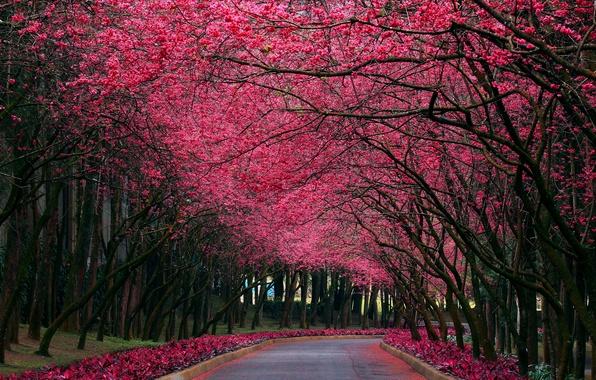 Картинка природа, парк, цвет, весна, сакура, аллея