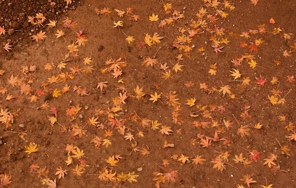 Картинка листья, земля, желтые, клен