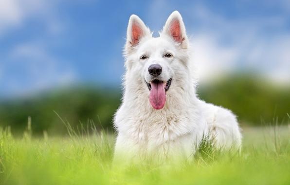 Картинка язык, собака, овчарка, Белая швейцарская овчарка