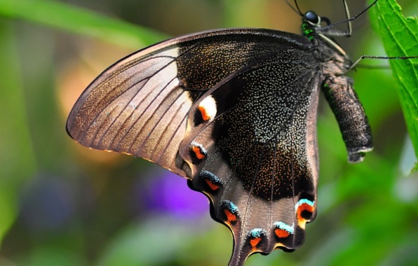 Картинка природа, лист, бабочка, крылья, насекомое, мотылек