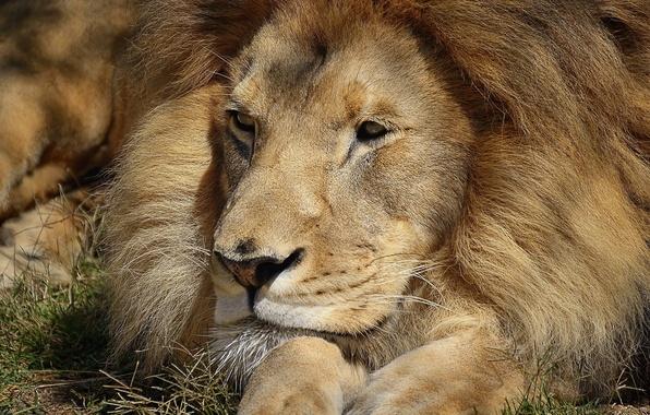 Картинка морда, отдых, лев, лапы, лежит, смотрит, довольный