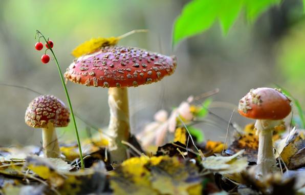 Картинка осень, лес, листья, природа, ягоды, грибы, мухоморы, трио, ландыш