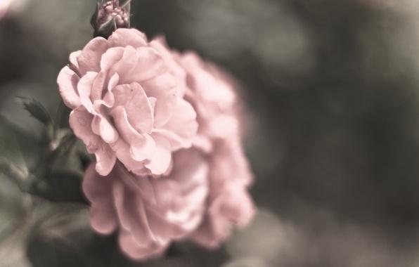 Картинка макро, цветы, серый, цвет, розы, лепестки, размытость, розовые