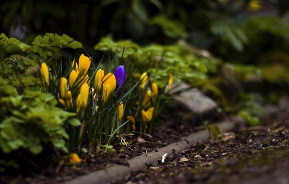 Картинка трава, листья, макро, цветы, земля, весна, крокусы