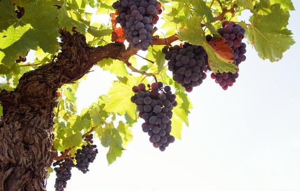 Картинка листья, виноград, гроздь, кисть, лоза