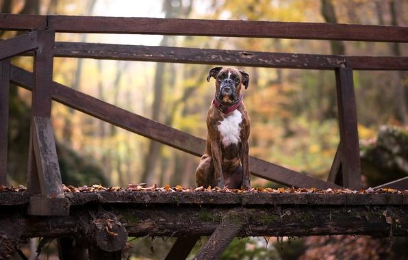 Картинка мост, друг, собака