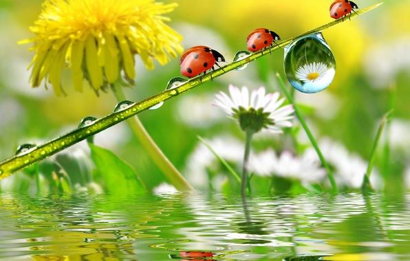 Картинка капли, цветы, роса, отражение, одуванчик, ромашки, божьи коровки