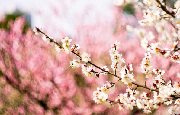 Картинка макро, цветы, ветки, природа, фон, дерево, розовый, весна, размытость, белые, цветение, слива