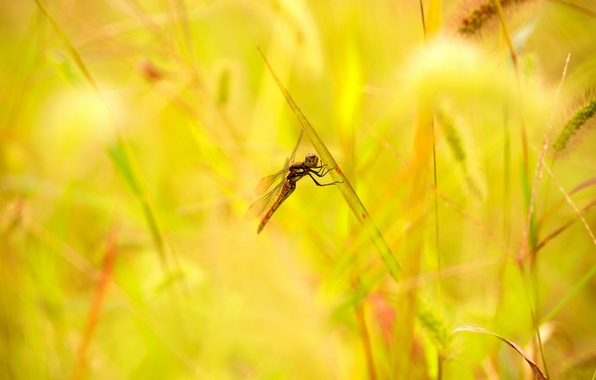 Картинка лето, трава, листья, стрекоза, колоски