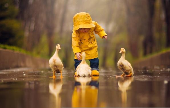 Картинка вода, птицы, отражение, лужа, малыш, ребёнок, птенцы, гусята