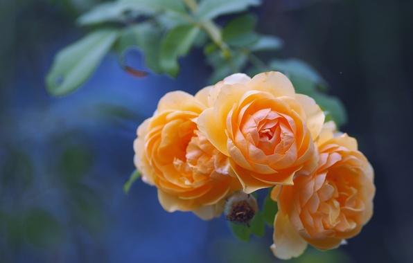 Картинка розы, ветка, бутоны, боке