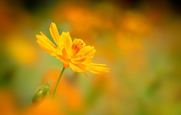 Картинка цветок, фон, размытость, желтая, космея