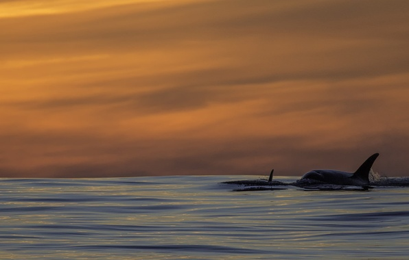 Killer whales in the wild sunset
