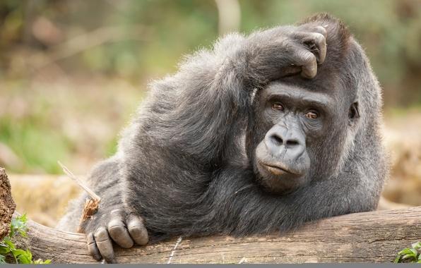 Фото обои взгляд, обезьяна, задумчивость