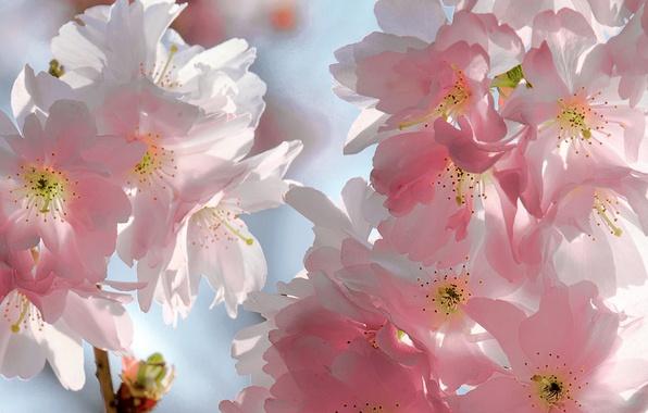 Картинка небо, цветы, ветки, вишня, красота, весна, лепестки, сакура, нежные, розовые, бутоны, цветение, sky, pink, flowers, …