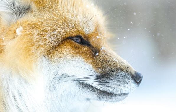 Картинка морда, снег, лиса, лис