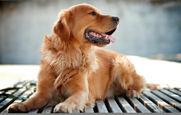 Картинка фон, друг, собака, ретривер