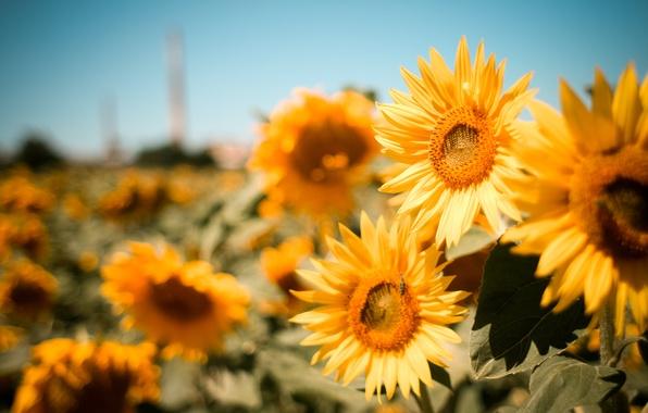 Картинка поле, лето, цветы, природа, размытость, Подсолнухи