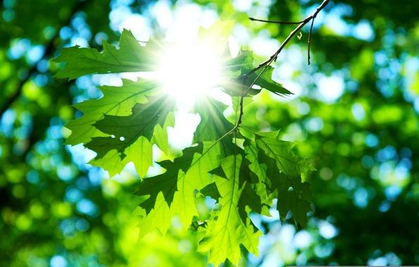 Картинка солнце, макро, зеленый, фон, обои, день, листик, wallpaper, листочки, широкоформатные, background, macro, sun, полноэкранные, HD …