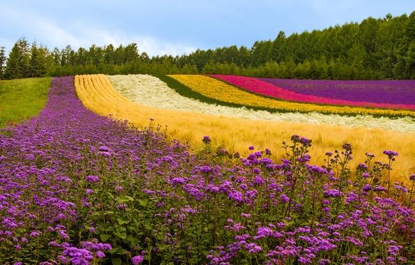 Фото обои цветы, растения, холм, деревья, лаванда, Япония, поле, маки