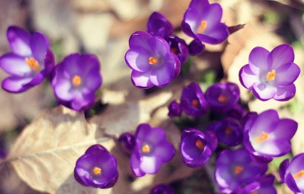 Картинка листья, солнце, макро, свет, цветы, природа, земля, весна, фиолетовые, крокусы