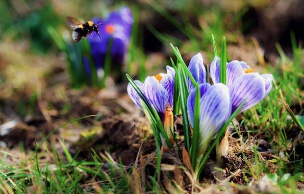 Картинка цветы, весна, крокусы, шмель