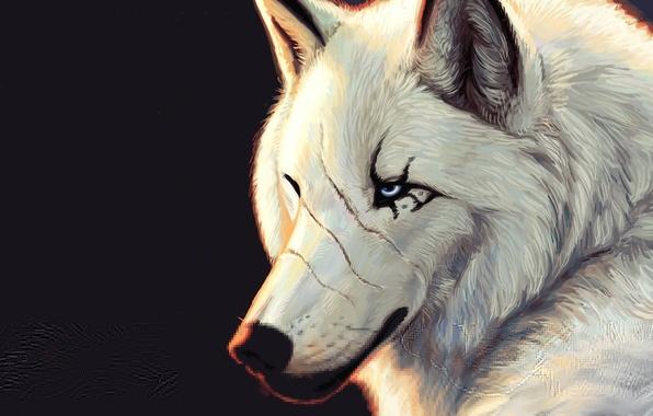 Картинка белый, Волк, черный фон, голубые глаза, шрамы