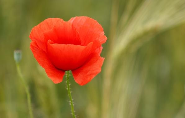 Картинка цветок, природа, мак, размытость