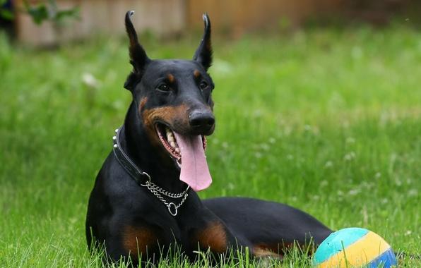 Картинка трава, мяч, собака, лежит, доберман