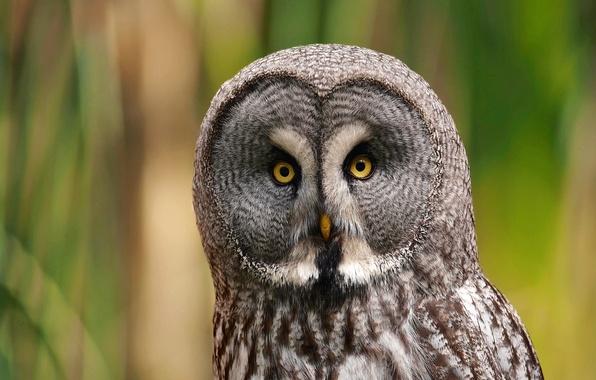 Картинка взгляд, сова, птица, портрет, хищница, Great Grey Owl, Бородатая неясыть, Strix nebulosa