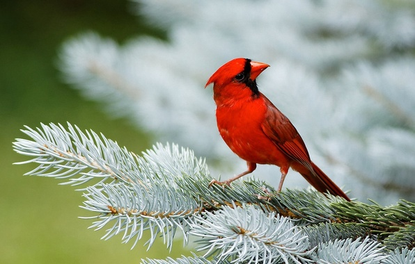 Картинка красный, птица, ель, хвоя, кардинал