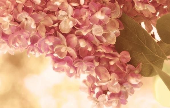 Картинка листья, макро, цветы, веточка, розовый, нежность, весна, кремовый, сирень