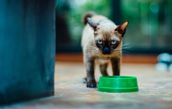 Картинка кот, взгляд, котенок, миска, сиамский