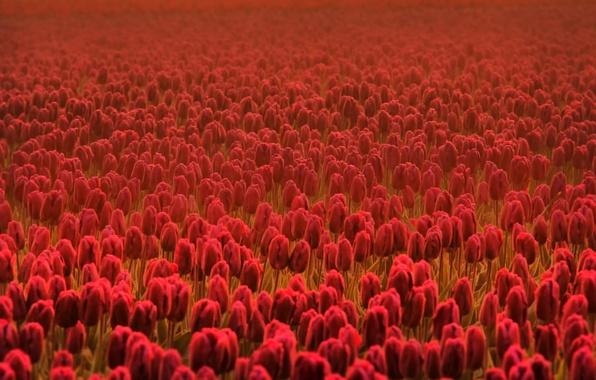 Картинка поле, цветок, лето, цветы, свежесть, поля, весна, тюльпаны, красные, цветки, весенние цветы, касный, летние цветы
