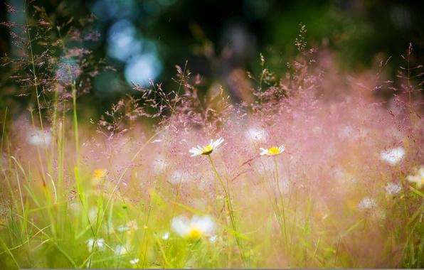 Картинка лето, трава, цветы, природа, ромашки, Луг, боке