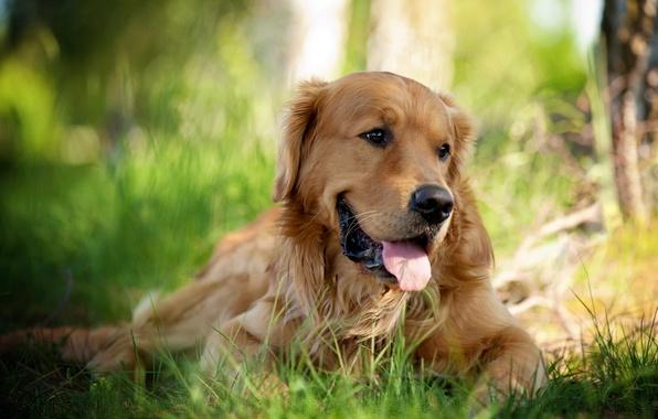 Картинка взгляд, природа, друг, собака, ретривер