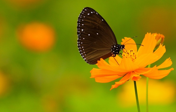 Картинка цветок, бабочки, крылья, точки, стебель, усики, flower, wings, butterfly, боке, bokeh, dots, хоботок, stalk, antennae, …