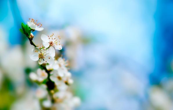 Картинка цветы, свежесть, вишня, весна, бутоны, ветвь, цветение, fresh, flower, листики