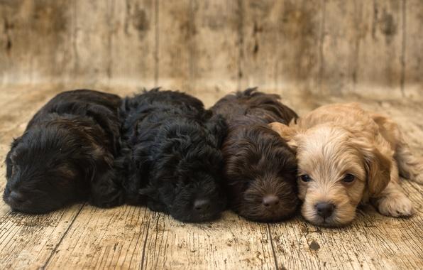 Картинка щенки, малыши, спаниель, квартет, милые