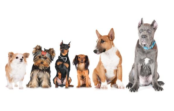 Картинка животные, собаки, фото, Бультерьер, Чихуахуа, Йоркширский терьер, Doberman, Russkiy Toy
