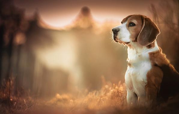 Картинка лес, глаза, лапы, нос, уши, пёс