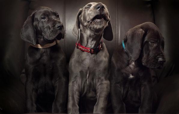 Картинка собаки, щенки, трио, ария, троица, Немецкий дог, соло