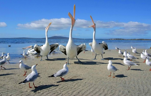 Картинка песок, море, небо, горы, птицы, берег, танец, чайка, клюв, горизонт, спор, песня, пеликан