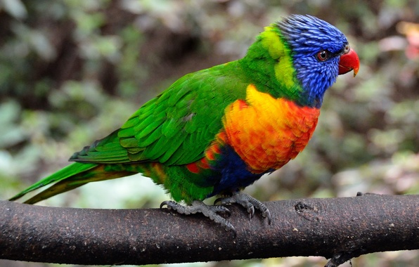 Фото обои цвет, перья, ветка, попугай, птица