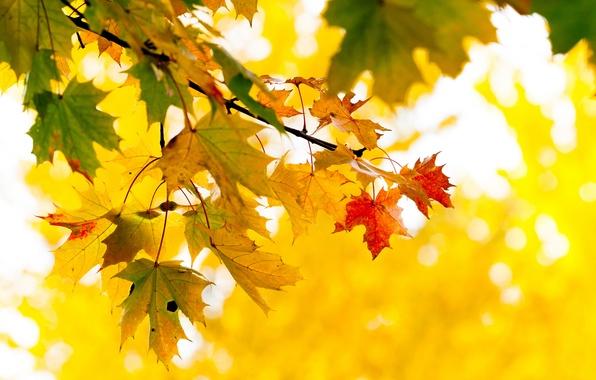 Картинка осень, листья, дерево, ветка, желтые, клен